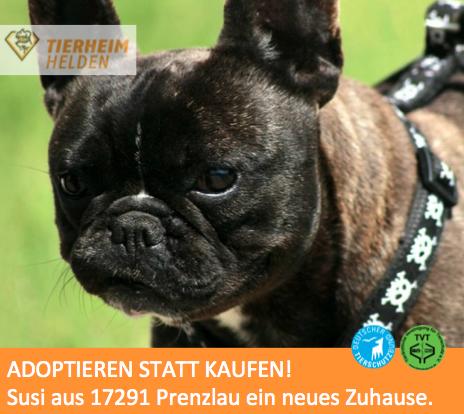 Franzosisches Bulldoggenmadchen Im Tierheim Prenzlau Sucht Ein