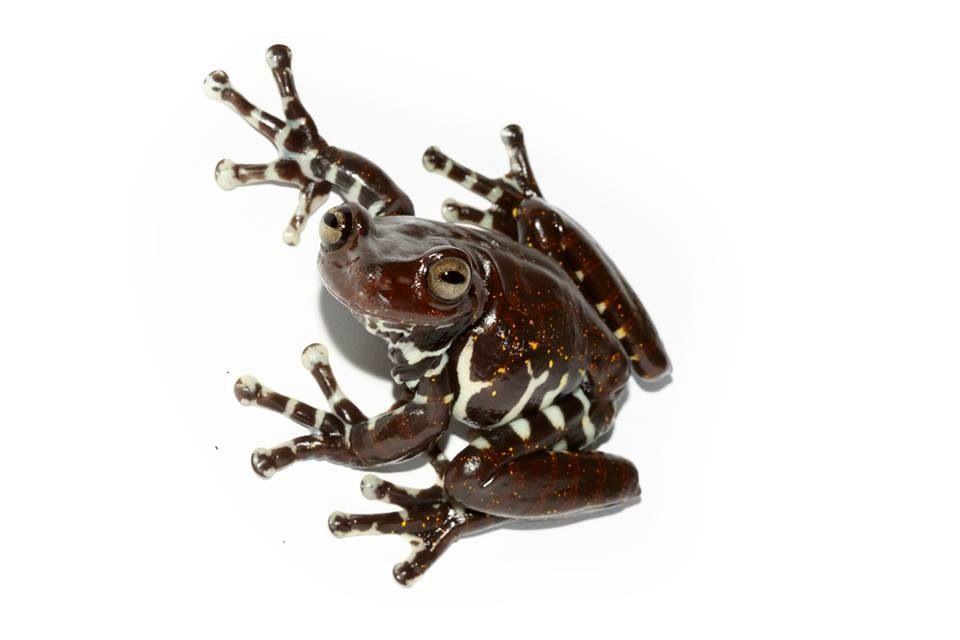 Ecuador frog