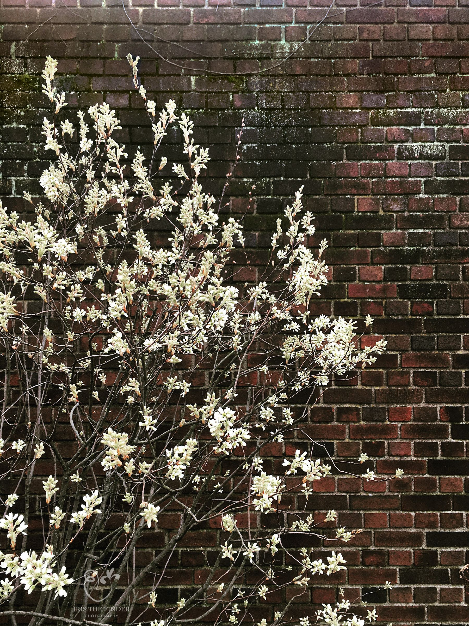 City Flower Photography White Blossoms And Brown Brick Flowers Photography City Flowers Organic Interior Design