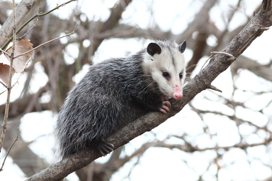 Opossum May Drive Your Dog To Distraction But They Re Great For Your Garden Opossum Animals Mammals