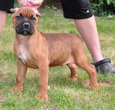 Adult Cane Corso For Sale
