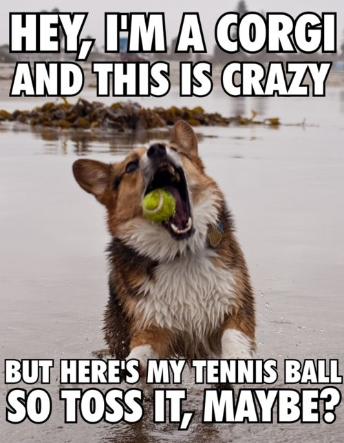 Hey I M A Corgi And This Is Crazy But Here S My Tennis Ball