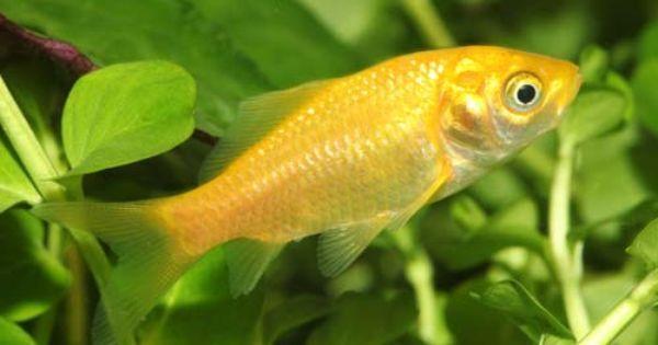 Lemon Yellow Goldfish Coldwater Goldfish Aquarium Fish Cold Water