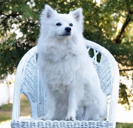 30 excellent american eskimo dog names pictures