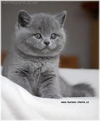 Blue British Shorthair Kitten My Future Pet So In Love British