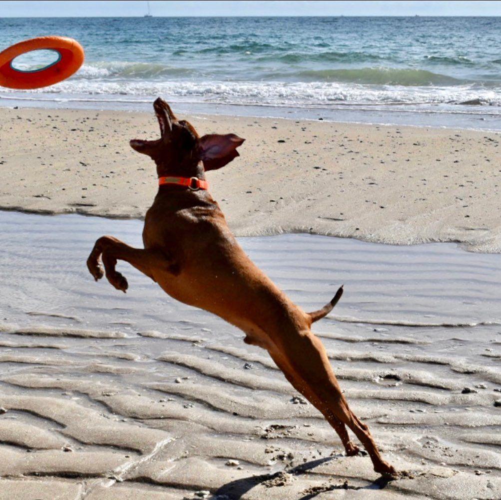 Got this frisbee! 🐾🐾 . #vizsla #vizslasofinstagram #vizslalove #vizslagram #frisbeedog #beachdog #beachdogsofinstagram #beachdogs #beachdoglife #floridadogsofinstagram #floridadogs #lifesabeach #dog #dogplaying #hungarianvizsla #hungarianpointer #pointer #pointeroftheday #gotthis #beachfun