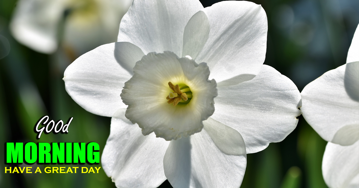 Fresh Good Morning Greetings Narcissus Flowers Good Morning Greetings Morning Greeting Good Morning Images