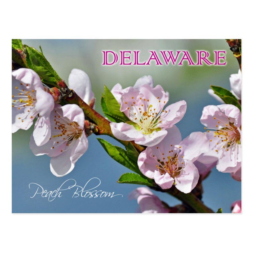 Delaware state flower peach blossom postcard in 2020