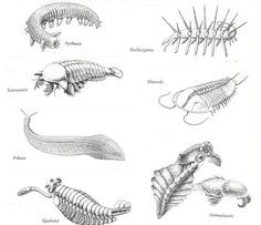 Cambrian Period Animals And Plants Google, search and