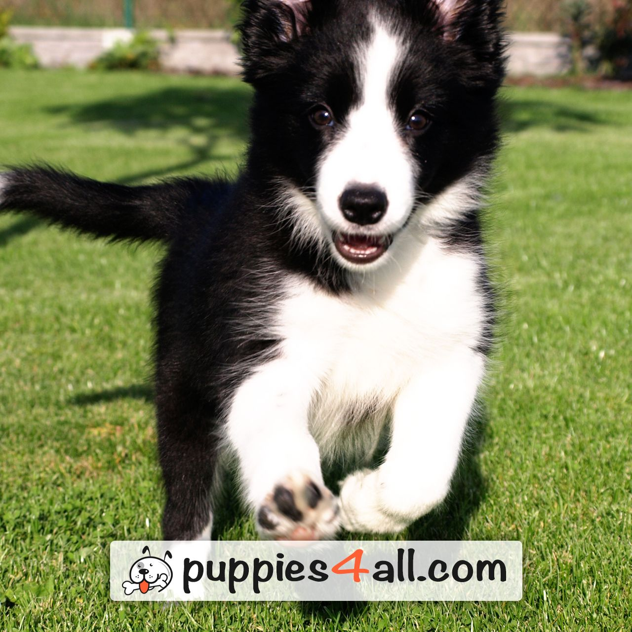 See how cute are those border collie puppies httpsyoutube see how cute are those border collie puppies https nvjuhfo Choice Image