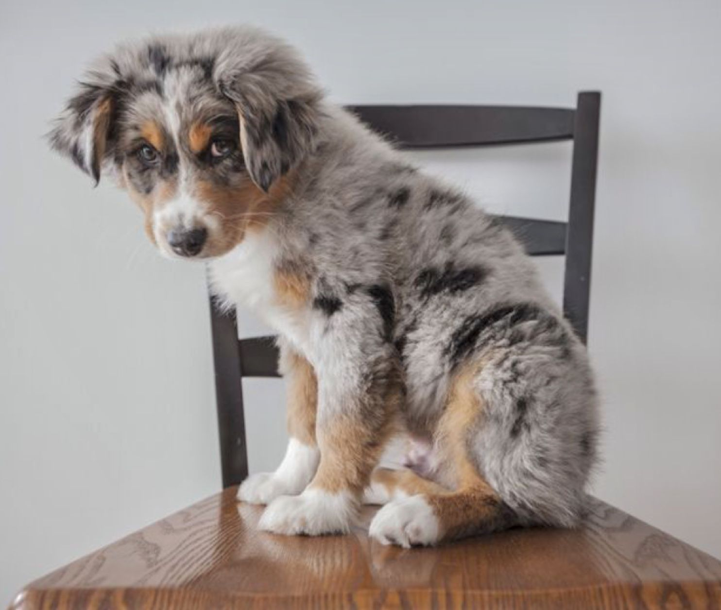 Adorable Blue Merle Aussie Australian Shepherd Puppy Melt Your Heart Cute Shepherd Puppies Aussie Puppies Australian Shepherd Blue Merle
