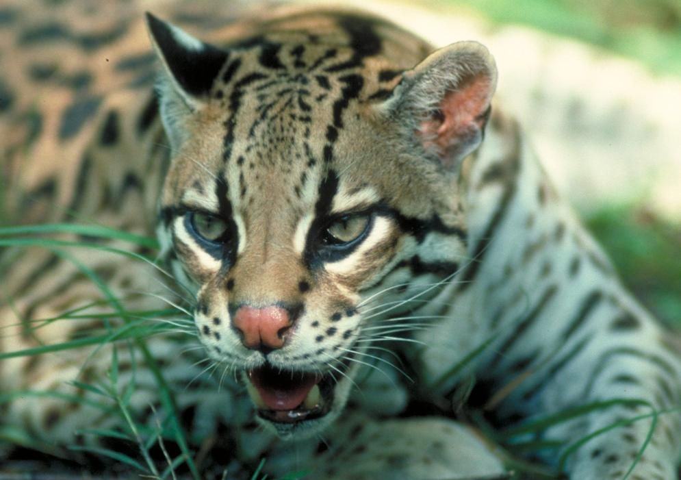 The Ocelot Is Similar In Appearance To A Domestic Cat Description From Animals Wild Cats Animals Beautiful