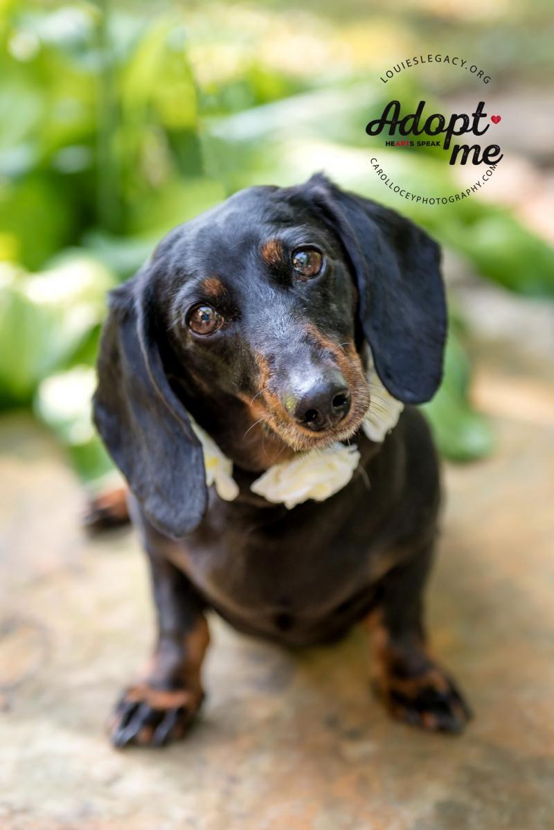 Adopt Minnie 0 ADOPTION FEE on Pet search, Dachshund
