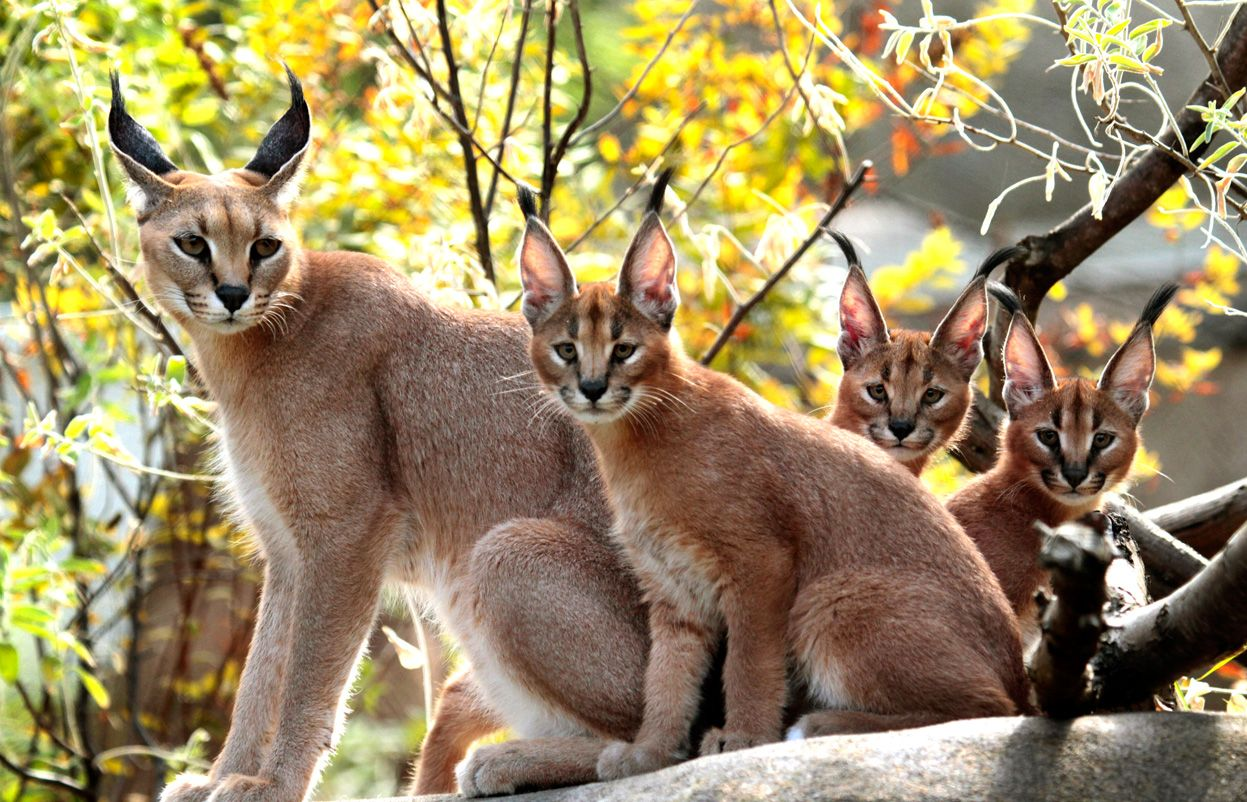 Caracals by Don Ryan