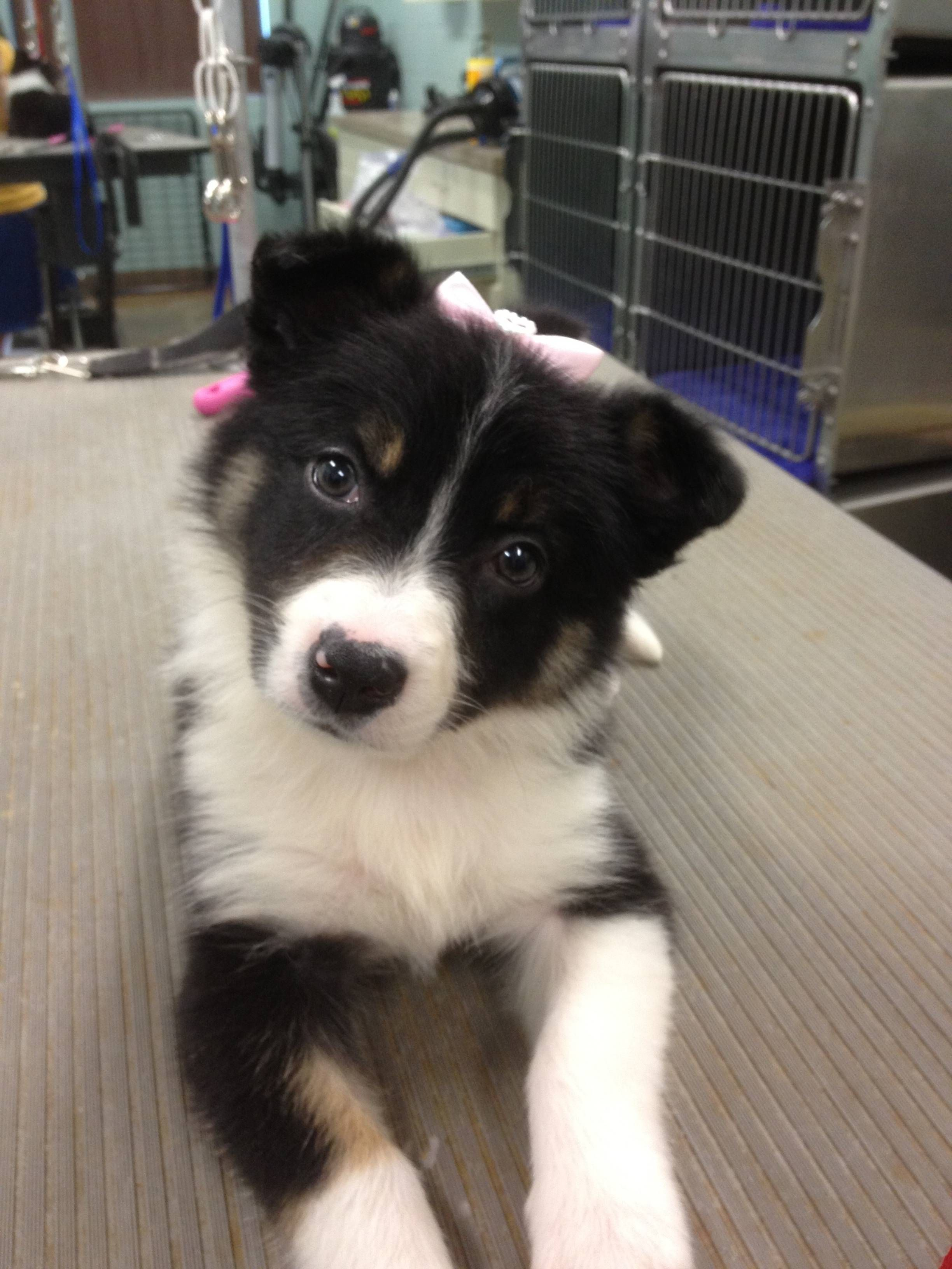 I Would Like To Introduce You To Tonks My 8 Week Old Border Collie Collie Border Collie Cute Dogs Breeds