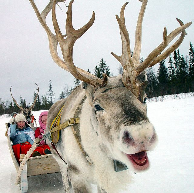 COPYRIGHT! Reindeer enjoy their work Winter, Animal and Dog
