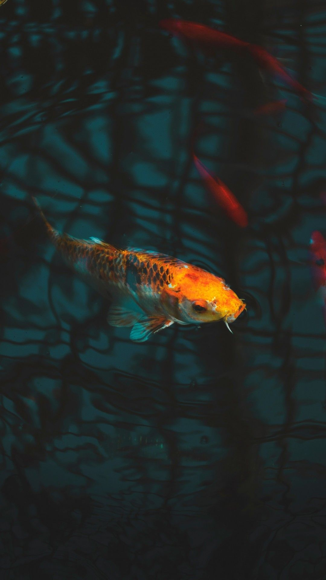 Aquarium Koi Carp Underwater Koi Fish Colors Fish Wallpaper Fish Wallpaper Iphone