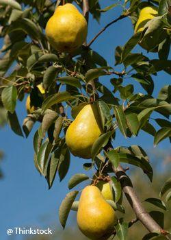 Le poirier quel arbre fruitier choisir pour votre jardin famille notre temps jardinage - Quel arbre fruitier pour petit jardin ...