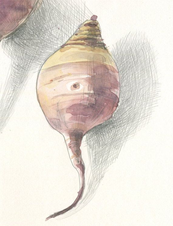 Beetroot Print Watercolour Pencil Drawing After Red Beet