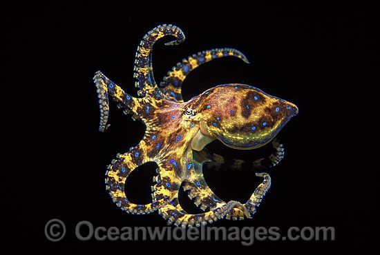 Blue Ringed Octopus Hapalochlaena Maculosa Stock Photo 24m1633 25 Octopus Small Octopus Tattoo Octopus Photography