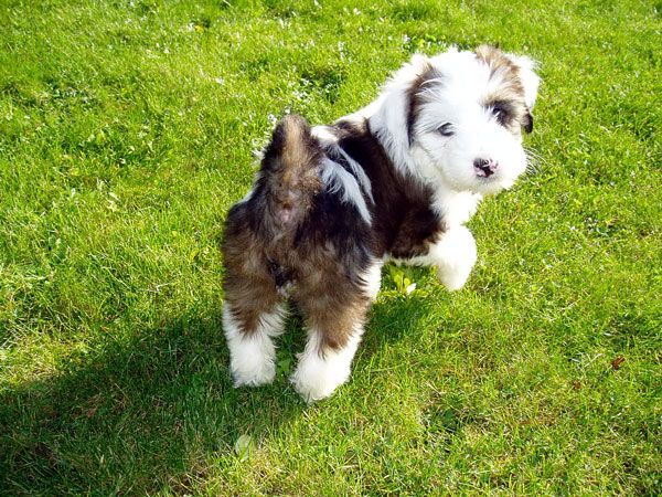 Tibetan Terriers Wingate County Durham Pets4homes