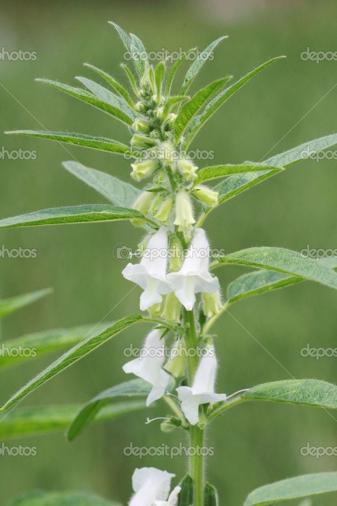 Top Sesam Pflanze | Kräuter - Heilpflanzen - Gewürze | Pflanzen #EQ_53