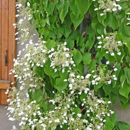 schizophragma hydrangeo des 9m fleurit tout l 39 t mi ombre ombre grimpantes pinterest. Black Bedroom Furniture Sets. Home Design Ideas