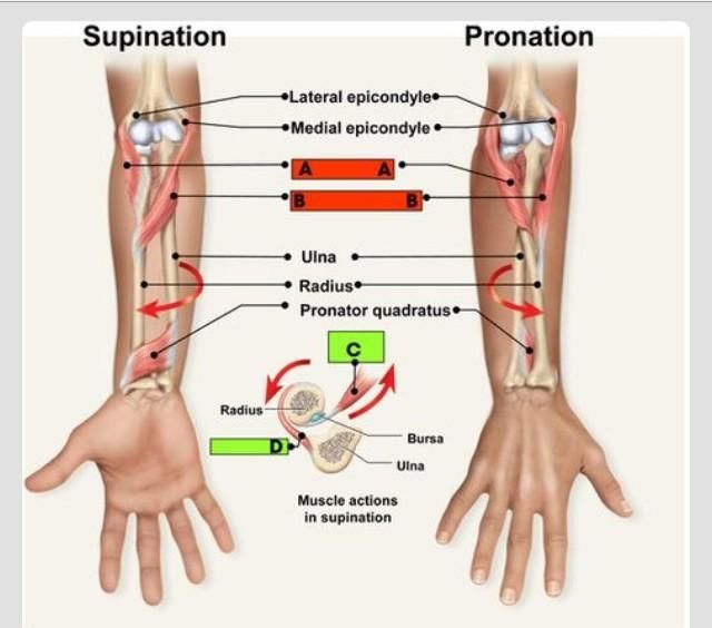 Pronation and supination of the forearm   anatomy and use of the ...