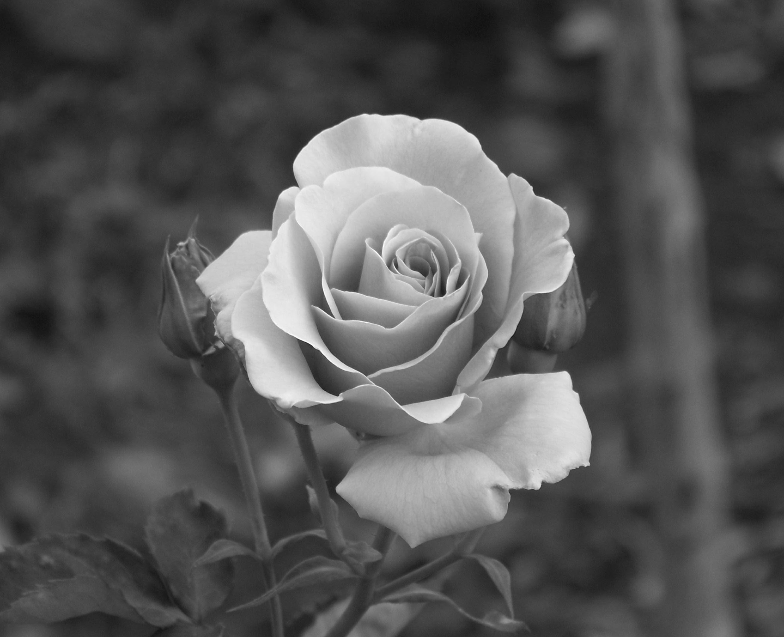 rose photography Black