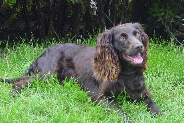 Boykin Spaniel Puppies For Sale Puppy Breed Info In 2020 Sporting Dogs Breeds Spaniel Breeds Spaniel Puppies For Sale
