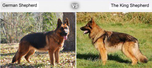 7 Dog Breeds Developed From The German Shepherd S Bloodline Dog