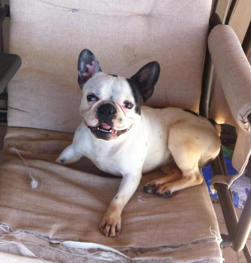Adopt Bandit Location Ontario Canada Courtesy Post On Petfinder French Bulldog Dog Adoption Dogs