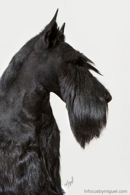 Scottish Terrier Head Dog Grooming Scottish Terrier Schnauzer