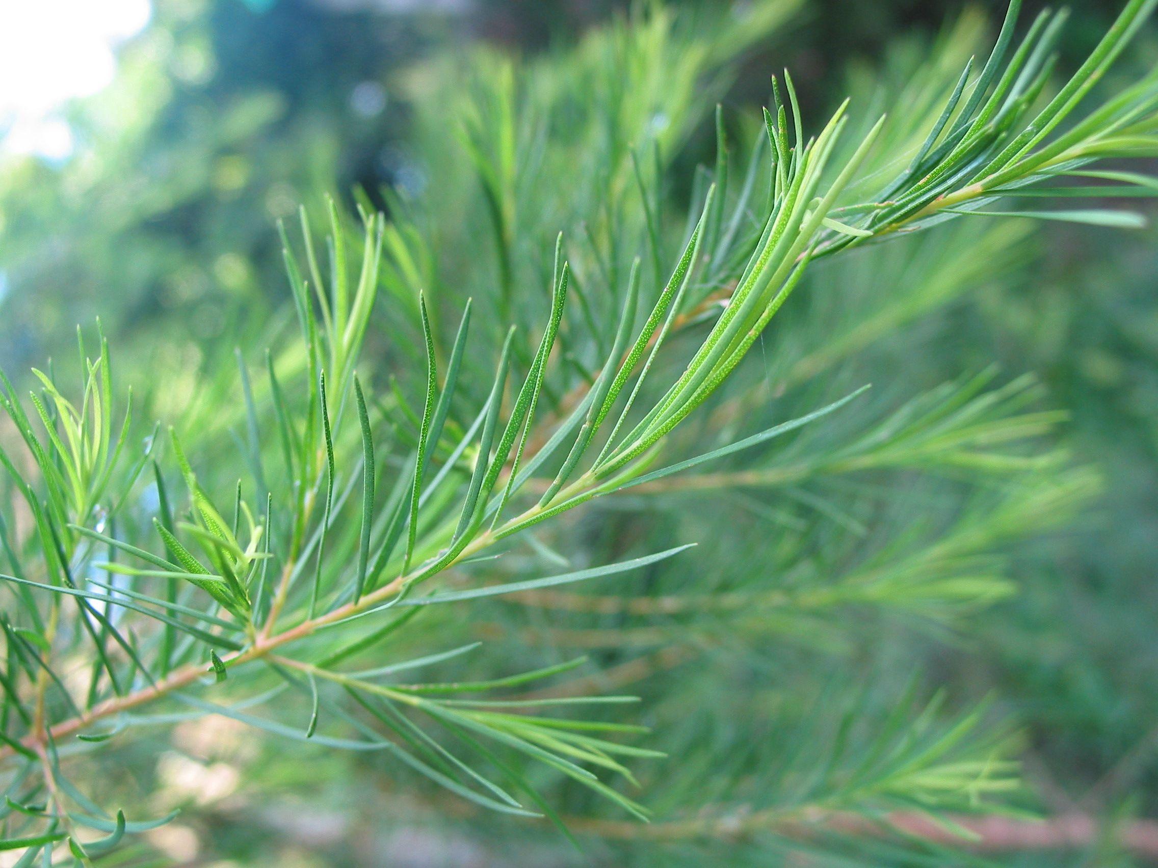 Aromatic Medicine for Boils | Essential oils, Melaleuca, Herbs