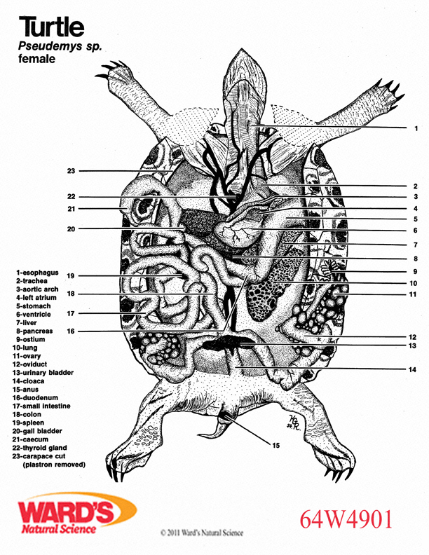 Turtle Anatomy Diagram