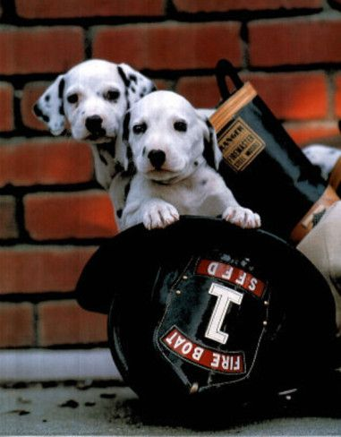 Fire Pups Shared By Lion Firefighter Dalmatian Dogs