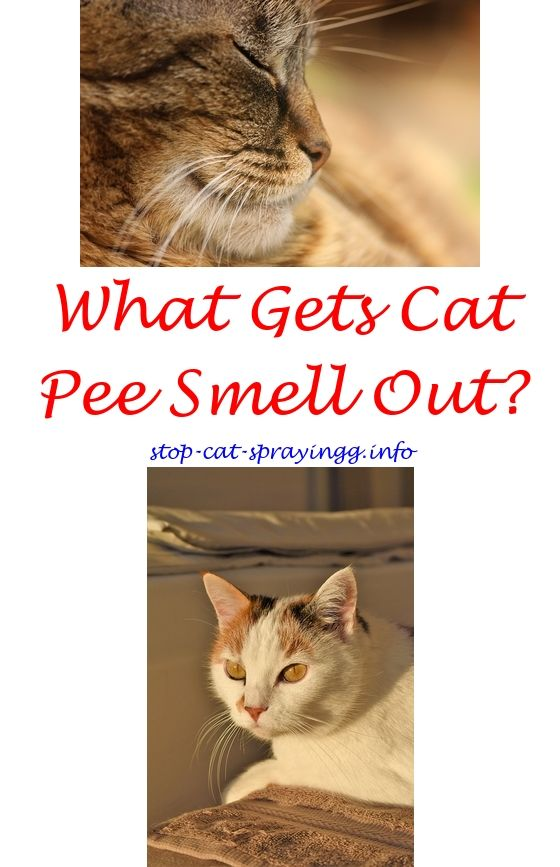 Home Remedy To Get Cat Urine Smell Out Of Carpet Lets