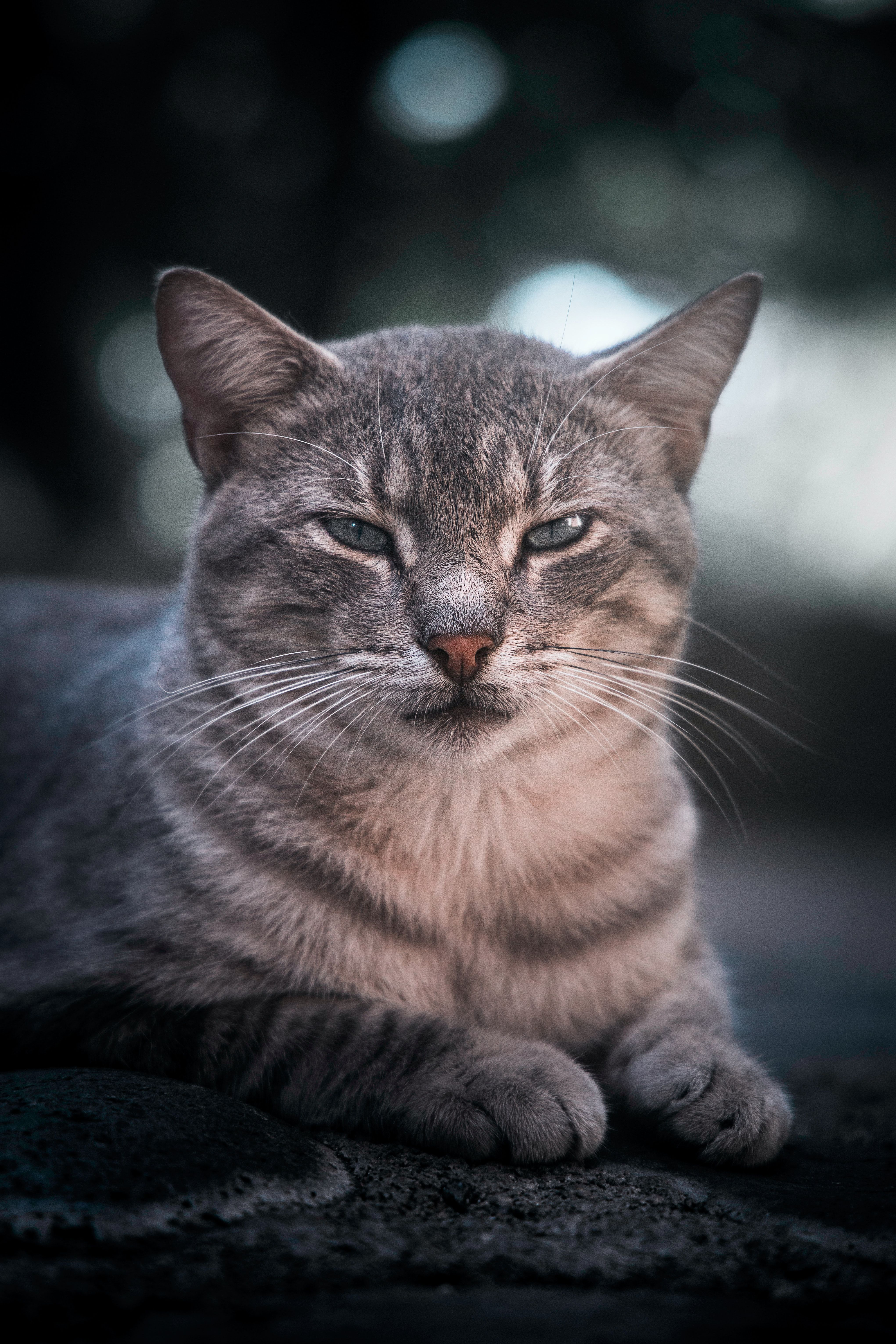 5 Reasons To Talk To Your Cat Cat Facts Grey Tabby Cats Cats