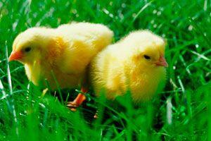 Danske kyllinger har det godt - Kød/fjerkræ - Opskrifter - Mad og Bolig