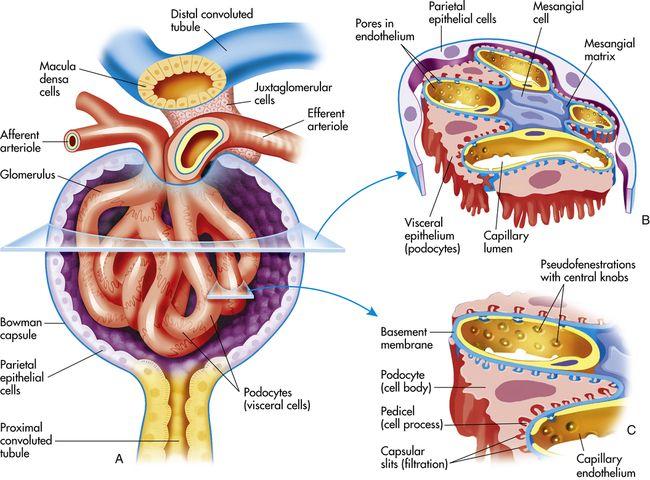 glomerulus | Medicine, Biology, Clip art