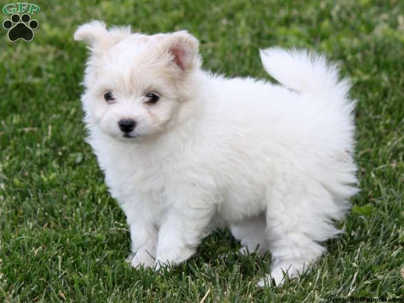 White Pomapoo Puppy | Pomapoo, Tumblr nail art, Puppies