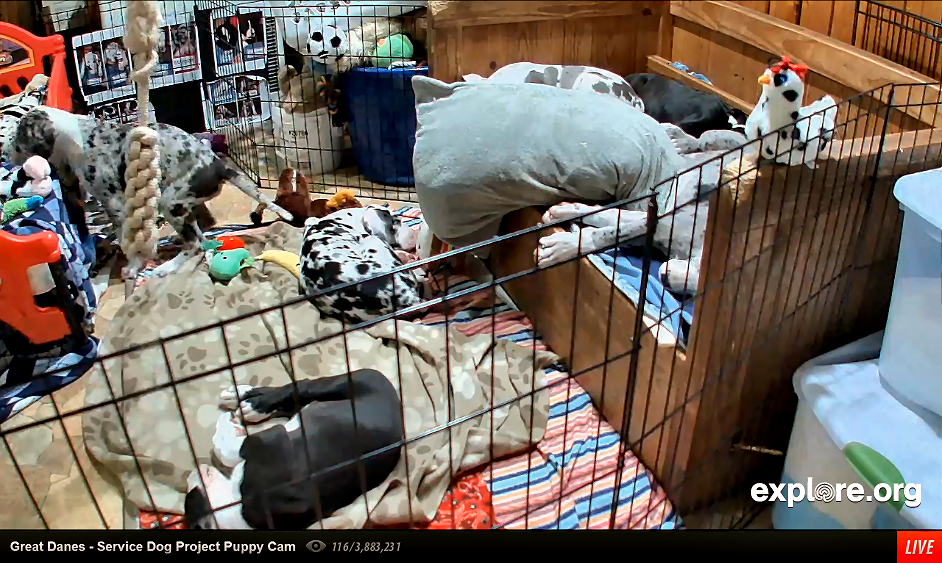 LIVE Great Danes puppies cam indoors & outdoors Service