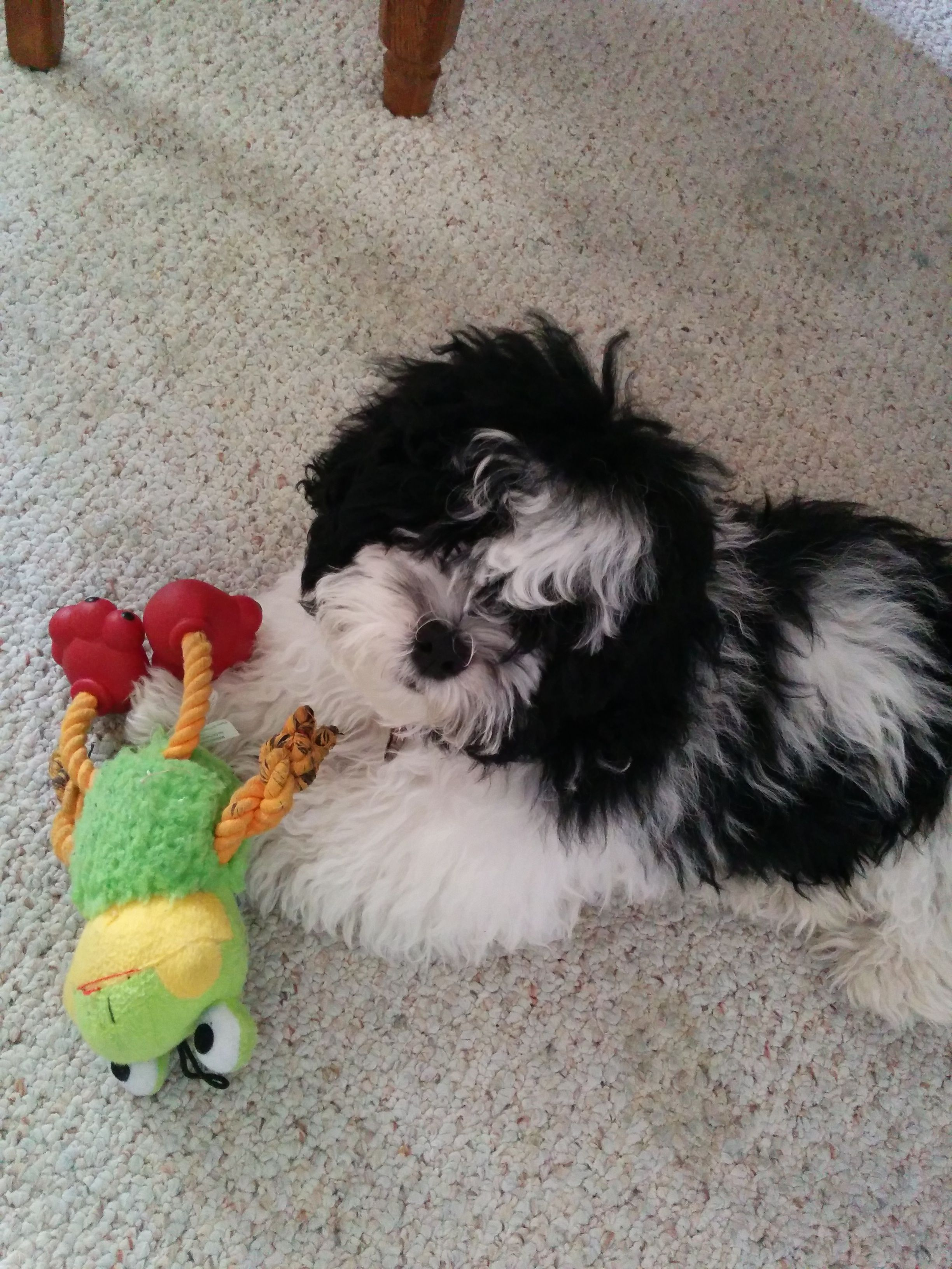 Oreo Puppies Dog Breeds Dogs