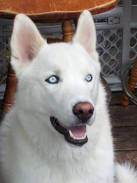 White Alaskan Malamute