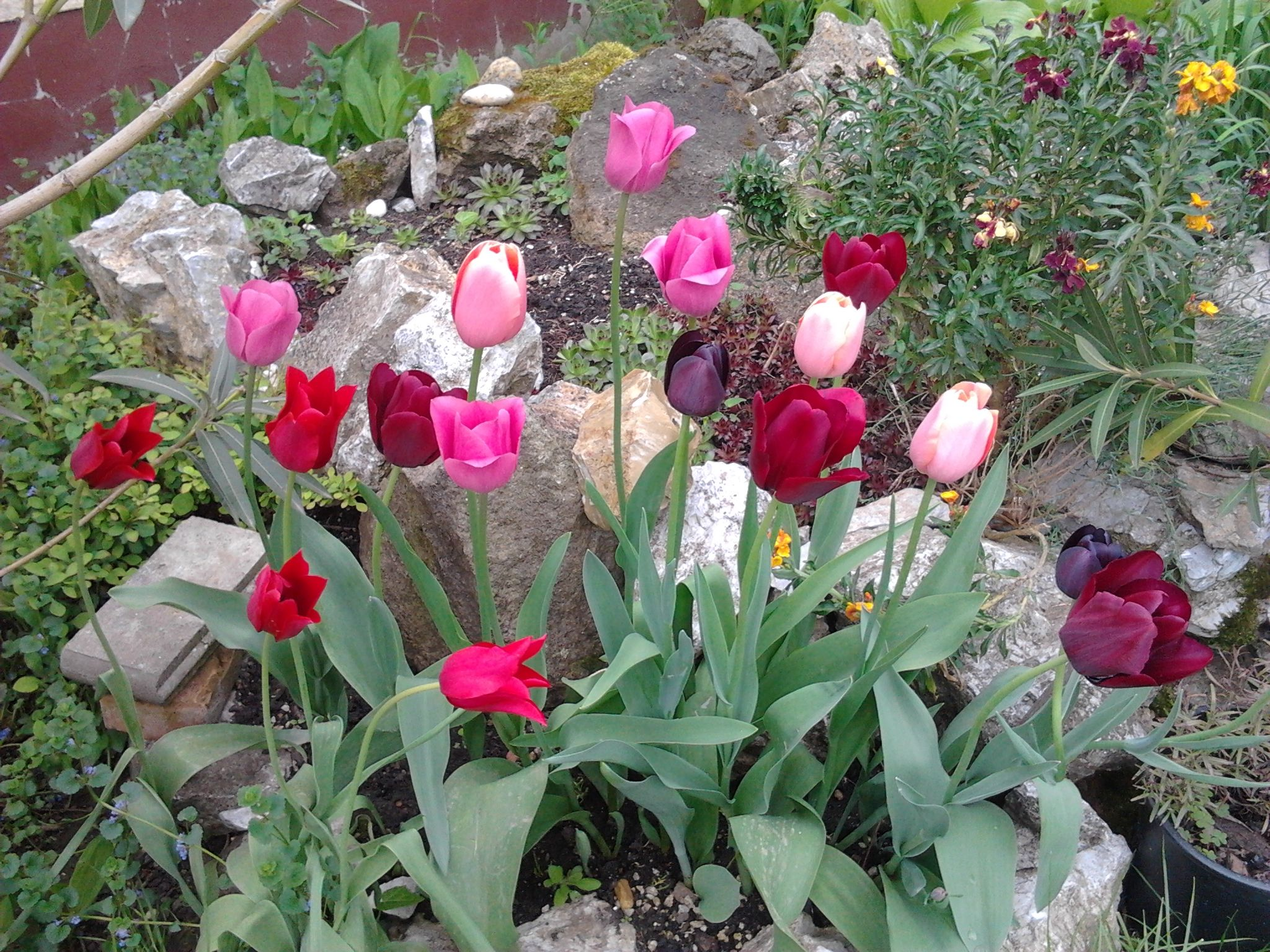 Tulipánok.
