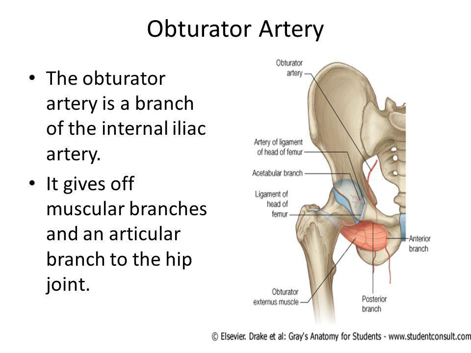 Image result for obturator artery | Anatomy | Pinterest