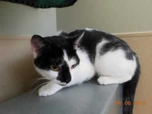 Moo is an adoptable Domestic Short Hair-Black And White Cat in Mankato, MN. Adoption fees are $100 and that will include my spay/neuter, all of my up to date shots, flea preventative, dewormer and a F...
