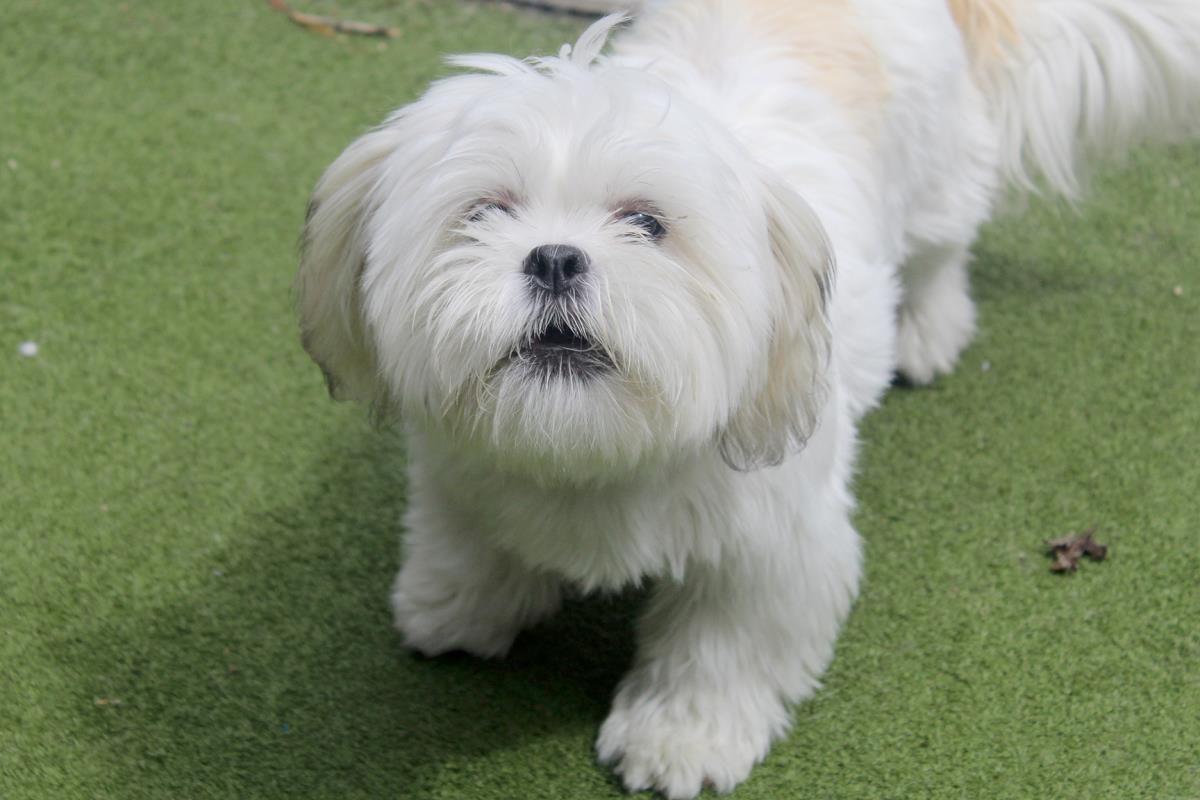 Adopt A Dog Betti Lhasa Apso Dogs Trust Lhasa Apso Puppies Lhasa Apso Puppies