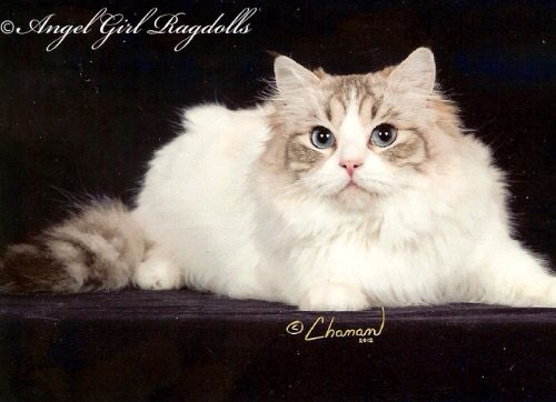 Angelgirls Trinity Is Our Wonderful Seal Lynx Bicolor Ragdoll Girl Www Angelgirlragdolls Com Ragdoll Kitten Ragdoll Cat Ragdoll Kittens For Sale