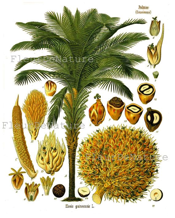 Botanical Print Kohler 8x10 Botanical Art Print 125 Beautiful